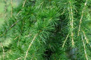 Cedar Tree - Best Fencing Material